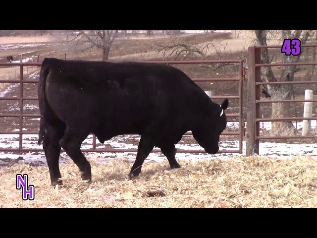 New Haven Angus Lot 43