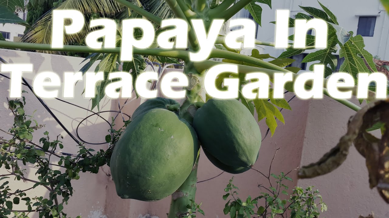 growing papaya in a container terrace garden youtube