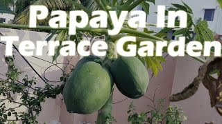 Growing Papaya in a Container - Terrace Garden