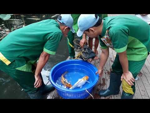 Ikan Koi siap kawin  Di Central Park Jakarta Mancing kehidupan