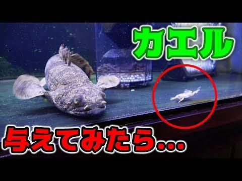 【閲覧注意】古代魚に生きたカエルを与えてみたら...