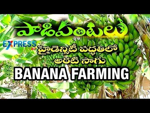 Highdensity of Banana Farming - Success Story of Farmer : Paadi Pantalu | ExpressTV