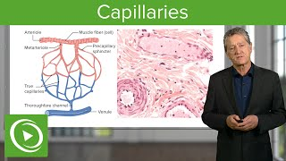 Capillaries: Overview & Definition – Histology | Lecturio