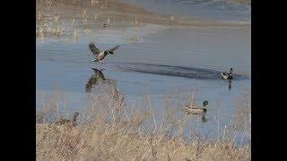 Охота на уток.Непредвиденный сюрприз на весенней охоте на селезня (Будни охотника и рыбака)