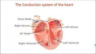 Arrhythmia; Dr Nagat Saafan, BCPS
