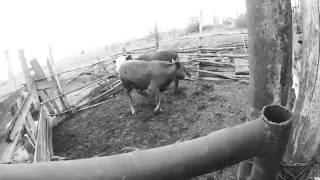 Забой быков // КРС // Жизнь в деревне.(Забой быков // КРС // Жизнь в деревне. Все наши видео: https://goo.gl/3f9c4V Ролик был снят на камеру sjcam4000: http://ali.pub/pikcm..., 2016-05-25T18:51:36.000Z)