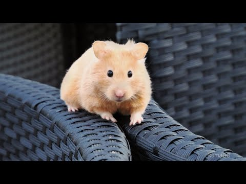 A Curious Day Out for Cute Hamsters