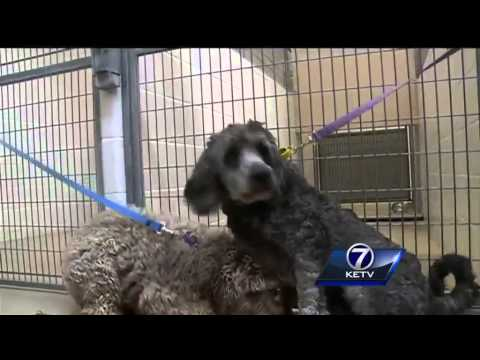 Nebraska Humane Society receives more than 30 poodle-mix dogs
