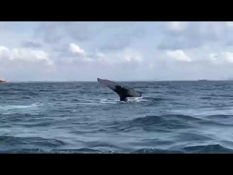 Ballet de baleines devant Lomé