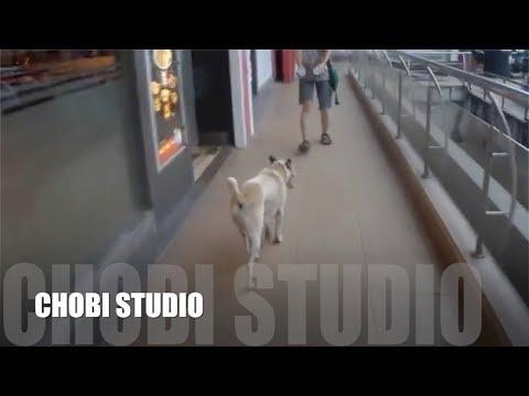 """【マンガロール犬チョビさん】 アイスクリームに誘導されるインド犬 Mangalorean Dog Chobi """"Indian Dog Conducted By Ice Cream"""""""