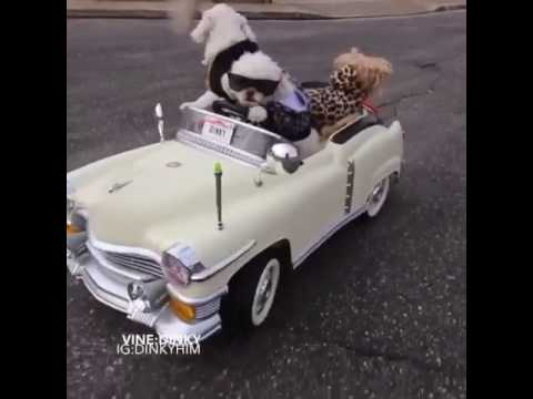 Dinky Dog Driving Car