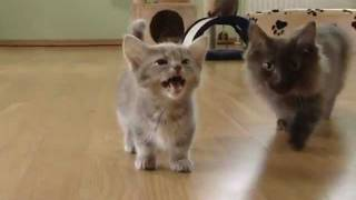Cute munchkin baby kitten talks too much thumbnail