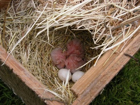 Love birds hatching stages