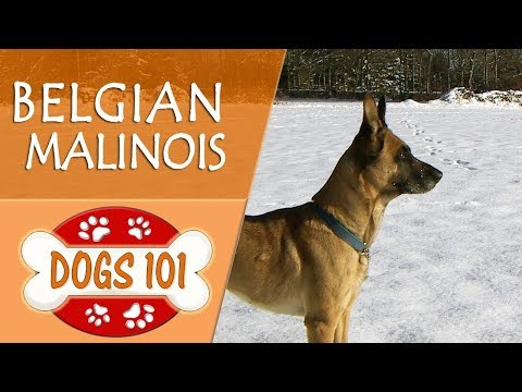 Dogs 101 - BELGIAN MALINOIS - Top Dog Facts About the BELGIAN MALINOIS