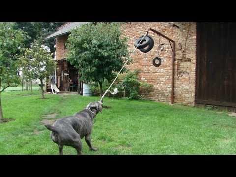 Cane corso - strength training