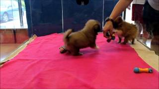 Pekingese Puppy And Pomeranian Puppy Playing In Boca Raton, South Florida