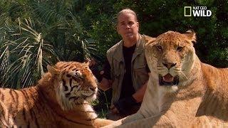 Le ligre le plus gros felin du monde 408 KG Video RARE !