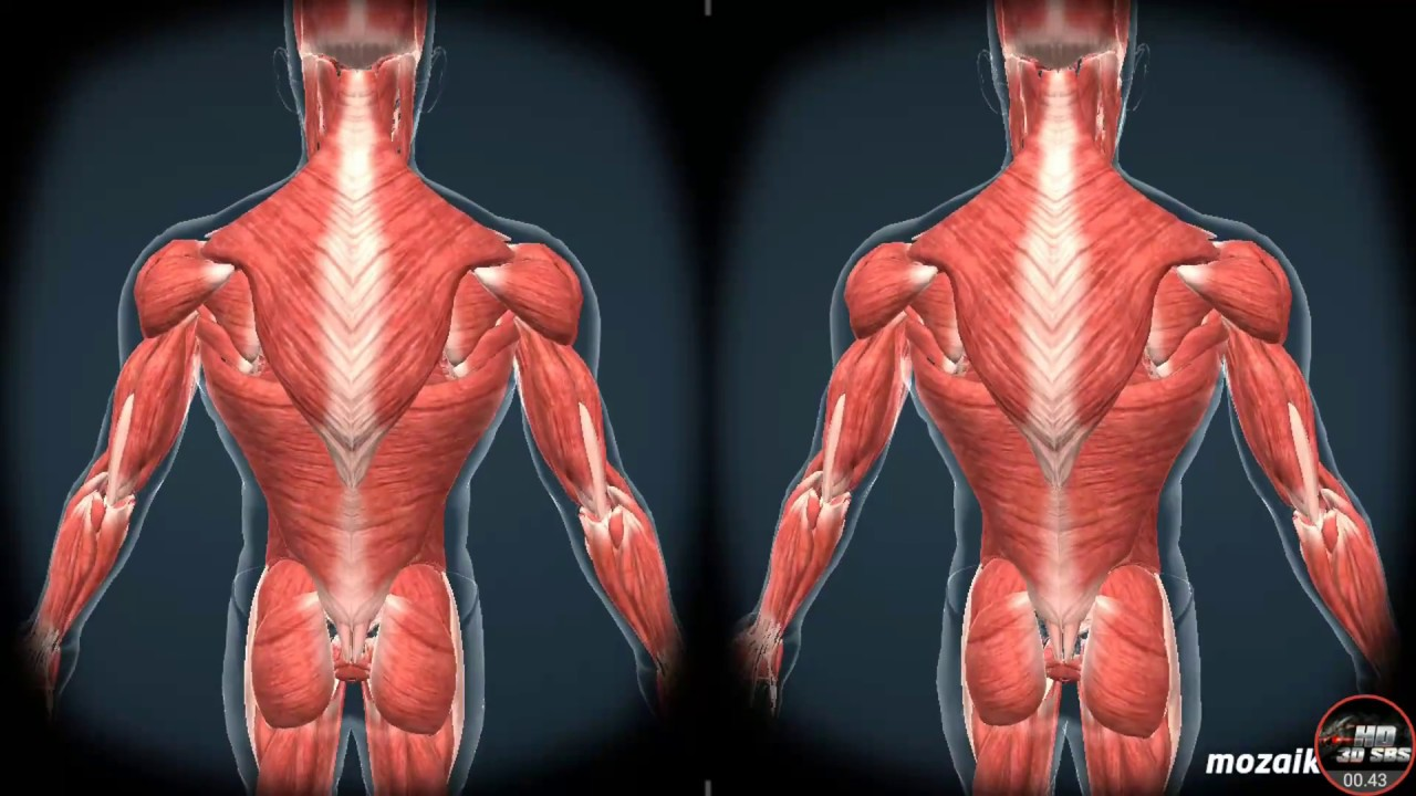 Vr Human Body Hd 3d Sbs Youtube
