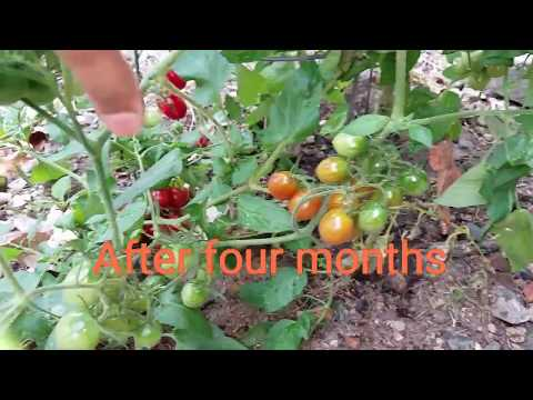 Shallot Tomato: Increase your yield with these simple easy tips and care