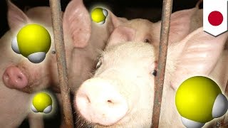 Killer poop! Toxic gas emitted by pig feces kills farm worker, hospitalizes another - TomoNews