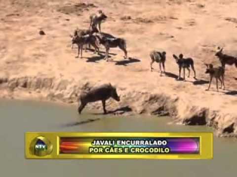 PLANTÃO NOVA TV FRIBURGO RJ JAVALI ENCURRALADO POR CÃES E CROCODILO 15 ...