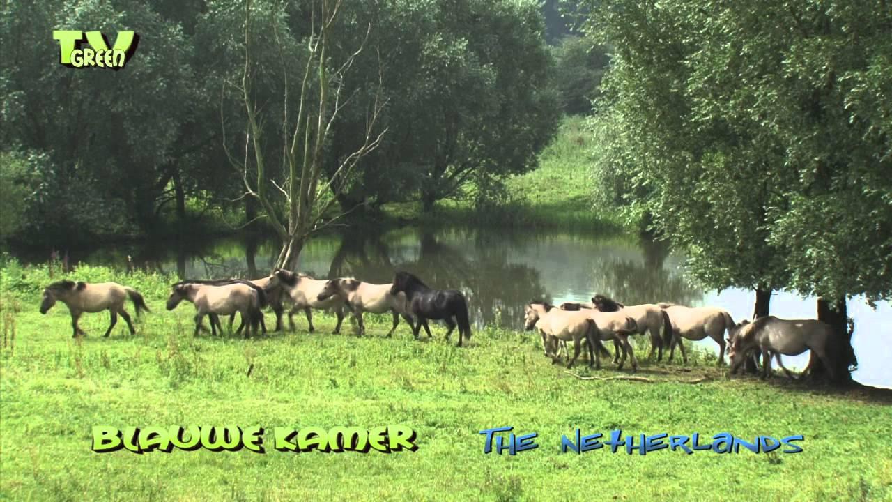 Blauwe kamer nature reserve herd konik horses youtube - Blauwe kamer ...