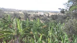 BANANA AND PAWPAW FARMING