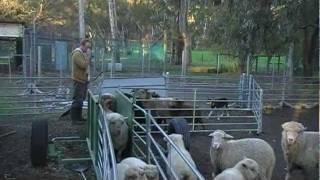 Working Kelpie, Pippa cont Sheep Herding Training
