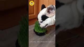 Почему моя собака ест траву