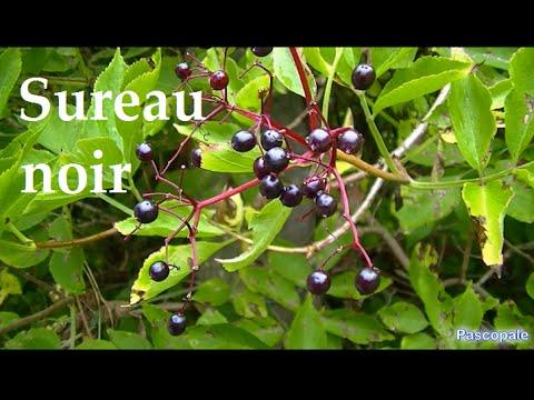 Plante Le Sureau Noir Se Consomme Fleurs Et Baies Youtube