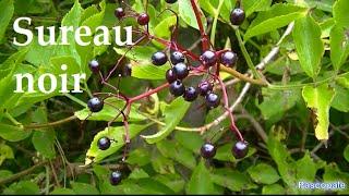 Plante Le Sureau noir se consomme fleures et baies