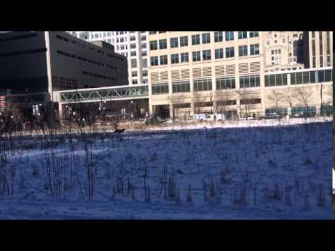 Coyote Chased in Streeterville