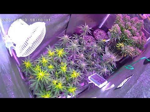 Autoflower Grow Journal. Zkittlez Auto dry weight. Organic soil. Closet grow. Perpetual grow.