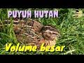 Suara Pikat Puyuh Hutan Terbaru Dengan Volume Besar Di Jamin Tambah Mantap  Mp3 - Mp4 Download