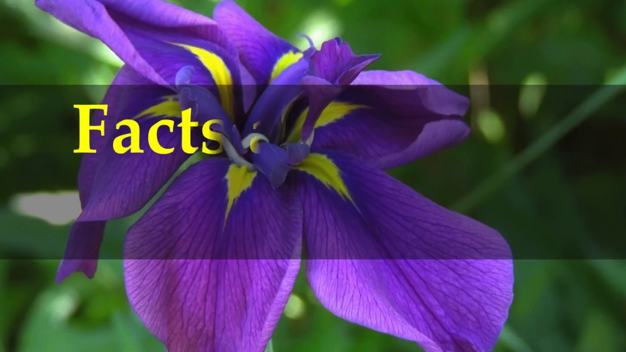 Facts About Iris Plants Youtube