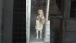 Поведение собак. Два дебила - это сила, или Пирамида из азиатов.)))