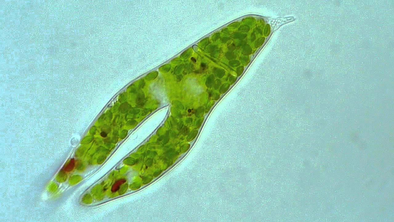 Which protist reproduces asexually by binary fission video