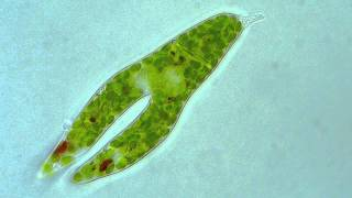 Euglena - Longitudinal binary fission