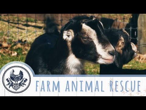 Animal Rescue Sanctuary in Pennsylvania: Farm Animals Get a Second Chance at Life
