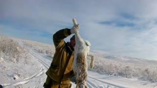 Охота с МР 155 на зайца