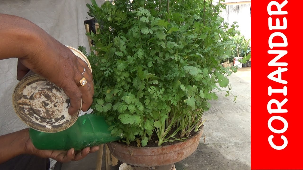 Grow Coriander Plant In A Pot Roof Gardening With English Subtitle Youtube