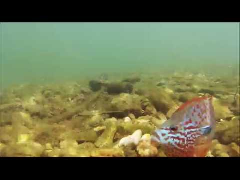 Big Sugar And Elk River Undwater Videos Of Native Fishes