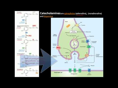 Autonomic Nervous System (ANS) - An Overview Of Anatomy, Divisions, Receptors, And Neurotransmitters