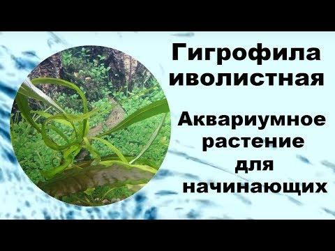 Гигрофила Иволистная. Аквариумное растение для начинающих.