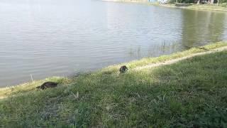 Серая ворона и утка кряква на Школьном озере, Зеленоград