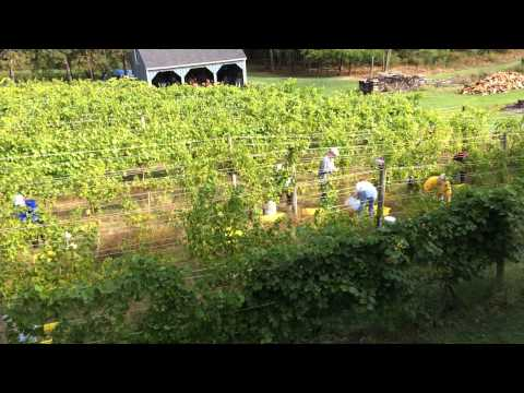 Harvesting Seyval Jewell Towne Vineyards
