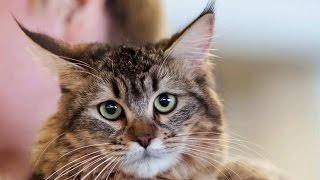 Пиксибоб, Породы Кошек, описание, уход
