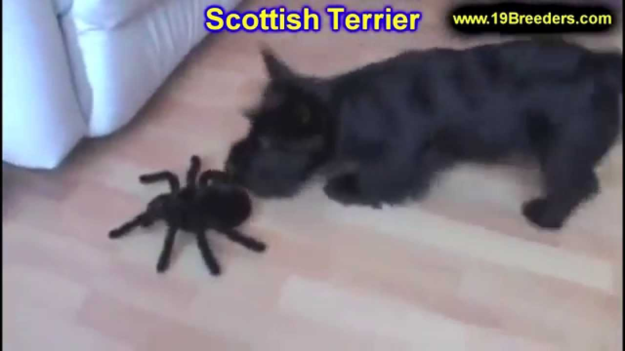Scottish Terrier Puppies Dogs For Sale In Columbia