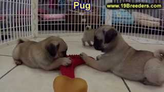 Pug, Puppies, For, Sale, In, New Orleans, Louisiana, La, Jefferson, Bayou Blue, Moss Bluff, Woodmere