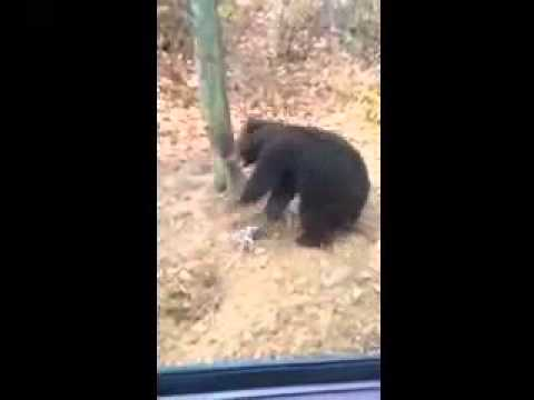 bear caught in raccoon trap